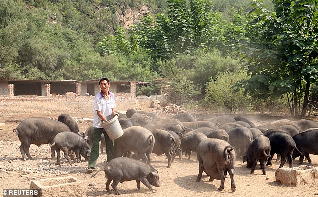 A worker feeds pigs at a farm in Xibaishan village in Hebei province, China, in August 2018. China's hog herd fell by half in the first eight months of 2019 due to a devastating outbreak of African swine fever, according to experts